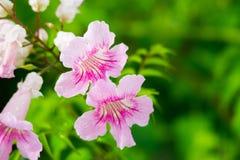Roze Trompetwijnstok, Podranea-ricasoliana, bloem Royalty-vrije Stock Afbeeldingen