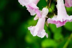 Roze Trompetwijnstok, Podranea-ricasoliana, bloem Stock Afbeelding