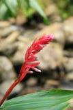 Roze Tropische Bloem Royalty-vrije Stock Foto