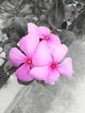 Roze, tropische installatie, bloemen, de maagdenpalm van Madagascar, catharanthusroseus 5 bloemblaadjebloem royalty-vrije stock foto