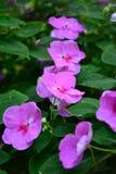 Roze tuin Royalty-vrije Stock Afbeeldingen