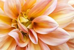 Roze Tuin Dahlia2 Royalty-vrije Stock Foto