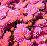 Roze tuin mums Stock Foto's