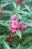 Roze Tuinbalsem of Rose Balsam royalty-vrije stock foto's