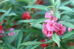 Roze Tuinbalsem of Rose Balsam royalty-vrije stock foto
