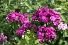 Roze tuinbloemen, met wit patroon Stock Foto