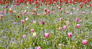 Roze Tulip Garden In Springtime stock video