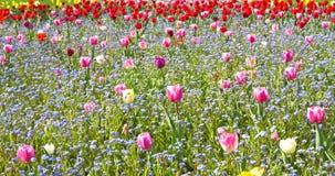 Roze Tulip Garden In Springtime stock videobeelden