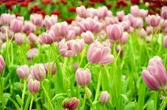Roze Tulip Growing in binnentuin stock afbeeldingen