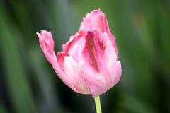 Roze Tulip Tulipa Garden Planting Many-Voorraadfoto royalty-vrije stock foto's