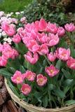 Roze Tulipa Gesneriana in Tuin Stock Foto's