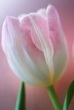 Roze tulp Royalty-vrije Stock Fotografie