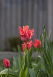 Roze tulp stock afbeelding