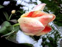 Roze tulp Stock Fotografie