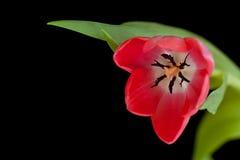 Roze tulp stock afbeeldingen