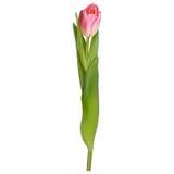 Roze tulp die op wit wordt geïsoleerd? Eps 10 Stock Foto's