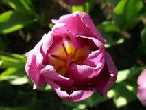 Roze Tulp, macro royalty-vrije stock fotografie
