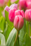 Roze tulp met bokeh Stock Foto