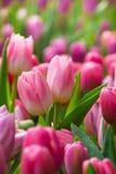 Roze tulp met bokeh Stock Afbeelding