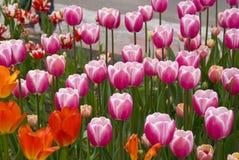 Roze tulpen Stock Afbeeldingen