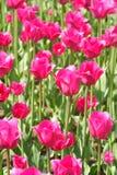 Roze tulpen royalty-vrije stock foto