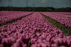 Roze tulpen Royalty-vrije Stock Afbeelding