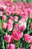 Roze tulpen in bloembed Stock Foto's
