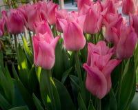 Roze tulpen buiten in parken en landbouwbedrijven royalty-vrije stock foto