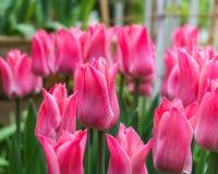 Roze tulpen buiten in parken en landbouwbedrijven stock afbeeldingen