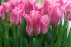 Roze tulpen buiten in parken en landbouwbedrijven stock afbeelding