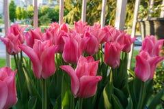 Roze tulpen buiten in parken en landbouwbedrijven royalty-vrije stock afbeeldingen
