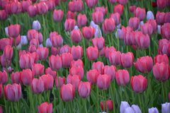 Roze tulpen in de tuin Royalty-vrije Stock Foto's