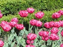 Roze tulpen in de tuin Stock Afbeeldingen
