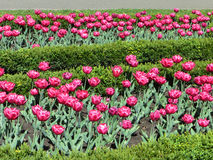 Roze tulpen in de tuin Stock Foto's