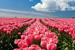 Roze tulpen die op een gebied in Mount Vernon bloeien, Washington stock fotografie