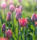 Roze tulpen die op een groen gebied bij een de lenteochtend groeien Royalty-vrije Stock Foto's