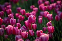 Roze tulpen Gebied van tulpen De mooie Lente royalty-vrije stock afbeelding