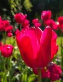 Roze tulpen in helder zonlicht Stock Foto's