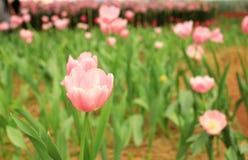 Roze tulpen in het kinderdagverblijf Stock Fotografie