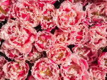 Roze tulpen met scherpe randen Stock Afbeelding