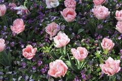 Roze tulpen op het bloembed Royalty-vrije Stock Afbeelding