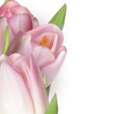 Roze tulpen op wit Eps 10 Stock Afbeelding