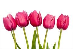 Roze tulpen op witte bakcgrouns Stock Foto's