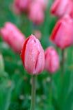 Roze tulpen in regen Royalty-vrije Stock Foto's