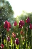 Roze tulpen in regen Stock Foto