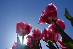 Roze tulpen tegen een blauwe hemel Royalty-vrije Stock Foto's