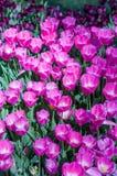 Roze tulpen in tuin op bokehachtergrond Openlucht, de lente Royalty-vrije Stock Fotografie