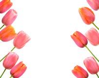 Roze tulpenachtergrond en grens bloemenontwerp Stock Afbeeldingen