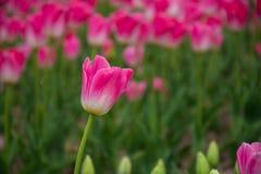 Roze tulpenbloem royalty-vrije stock foto