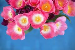 Roze tulpenbloem op blauwe achtergrond een groetenkaart Stock Afbeelding